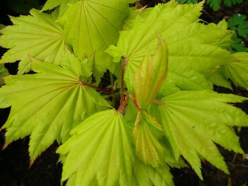 Acer shirasawanum 'Aureum' - golden full moon maple