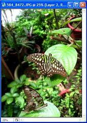 Butterfly collage tutorial - Butterfly #2 finally extracted and repositioned in collage