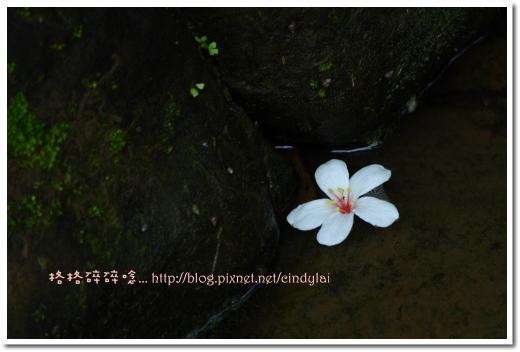 20080503桐花_105