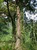 96.11.16竹崎鄉光華村茄苳風景區內的茄苳老樹DSCN3220
