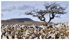 Limestone Landscape at Southerscales (Digital Wanderings) Tags: southerscales limestone pavement lone ingleborough yorkshiredales landscape naturereserve threepeaks yorkshirewildlifetrust hawthorn tree walk