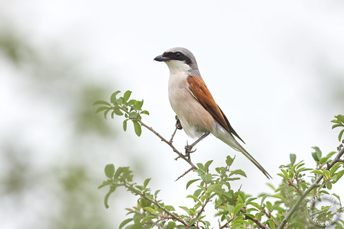 Neuntöter - Red-backed shrike - Lanius collurio