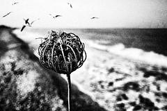 (Effe.Effe) Tags: sea blackandwhite bw seagulls birds blackwhite mare riva shoreline wave bn grainy bianconero gabbiani senigallia biancoenero grana queensannelace tastidolenti