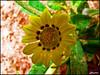 Sun Flower (q8phantom) Tags: flower macro rose closeup photo الكويت ماء الشمس عصير اصفر حديقة قطرات صفراء تقريب تباع اناناس كيفان الكيت