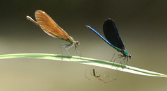 Three is a crowd! (giansacca) Tags: spider dragonfly insects demoiselle damselfly topic insetti ragno libellula araneae odonata zygoptera beautifuldemoiselle calopteryxvirgo greatphotographers damigella aracnide specanimal donzella blauflgelprachtlibelle caloptryxvierge caballitodeldiabloazul agrionvierge