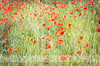 A field of pleasure (dhmig) Tags: flowers italy nature 50mm nikon poppies marche themarches poppiesfield nikond7000 dhmig dhmigphotography themarchescountryside