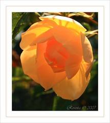 Golden Glow (Roszita) Tags: friends flower macro sunshine rose yellow closeup golden petals glow excellence takeabow naturegroup naturesfinest flowerotica masterphotos beautifulcapture mywinners abigfave supershots platinumphoto aplusphoto irresistablebeauty floralexcellence scarletrose77 flowereotica queenrose everydayissunday theperfectphotographer goldstaraward