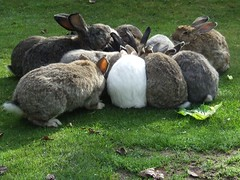 Rabbit Feast (visionthing64) Tags: park rabbit animal lancashire bolton mossbank baabshots
