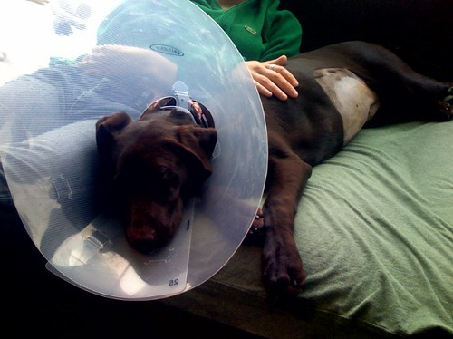 Cone dog by TenSafeFrogs, on Flickr