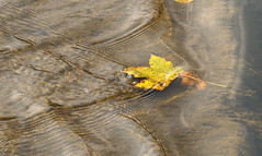 Leaf resting (gripspix (catching up slowly)) Tags: water leaf stream haiku time naturesfinest