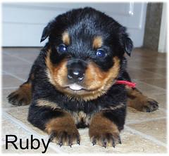 ruby1 (muslovedogs) Tags: dogs puppy rottweiler teaara zeusoffspring