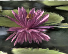 Waterlily - Corel Painter X - by Creativity+ Timothy K Hamilton