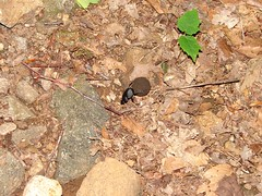 061207 053 (rpealit) Tags: bug insect beatle dung