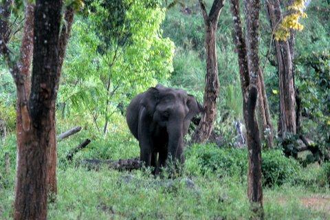 aggressive female elephant