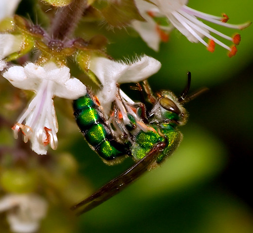 Green Wasp (more photos on comments) (by Chaval Brasil)