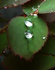 Gotas I (Pedro Cavalcante) Tags: naturaleza verde green nature groen fuji natureza natur natuur natura drop vert finepix fujifilm grn gota  6000 druppel goccia grnn  drpe    6500  s6500 s6500fd mywinners anawesomeshot finepixs6500 finepix6500 pedrocavalcante  finepixs6000   waterdropsmacros