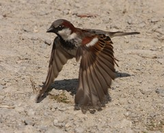 House sparrow takes flight (naturelover2007) Tags: house bird nature fauna flight sparrow birdwatching soe ontariocanada naturesfinest featheryfriday birdphoto mywinners abigfave theworldisbeautiful platinumphoto impressedbeauty excellentphotographerawards betterthangood platinumsuperstar