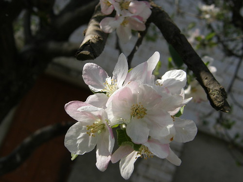 Cherry Blossoms, Sakura