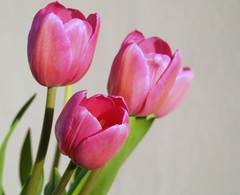 (Gal Friday) Tags: pink nature tulips tassie