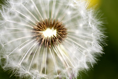 plucked (archidave) Tags: uk wild england plant flower macro clock bristol weed geometry seed fluff dandelion