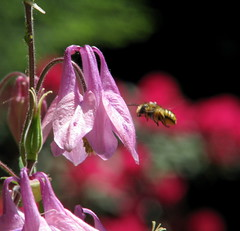 This is the dawning of the age of the Honey Bee