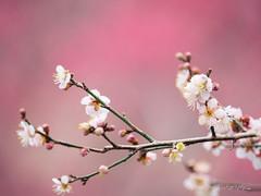 EM121505.jpg (TKL2010) Tags: ume 梅 japan blossom spring bloom