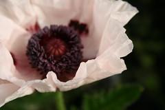this morning (~Mara~) Tags: poppy poppies ourgarden papaver amapolas amapola maracruzado