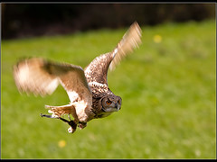 Landing gear down (Jmalls) Tags: birds explore owl preston ef300mmf4lisusm turbarywoods stillgotjesseson