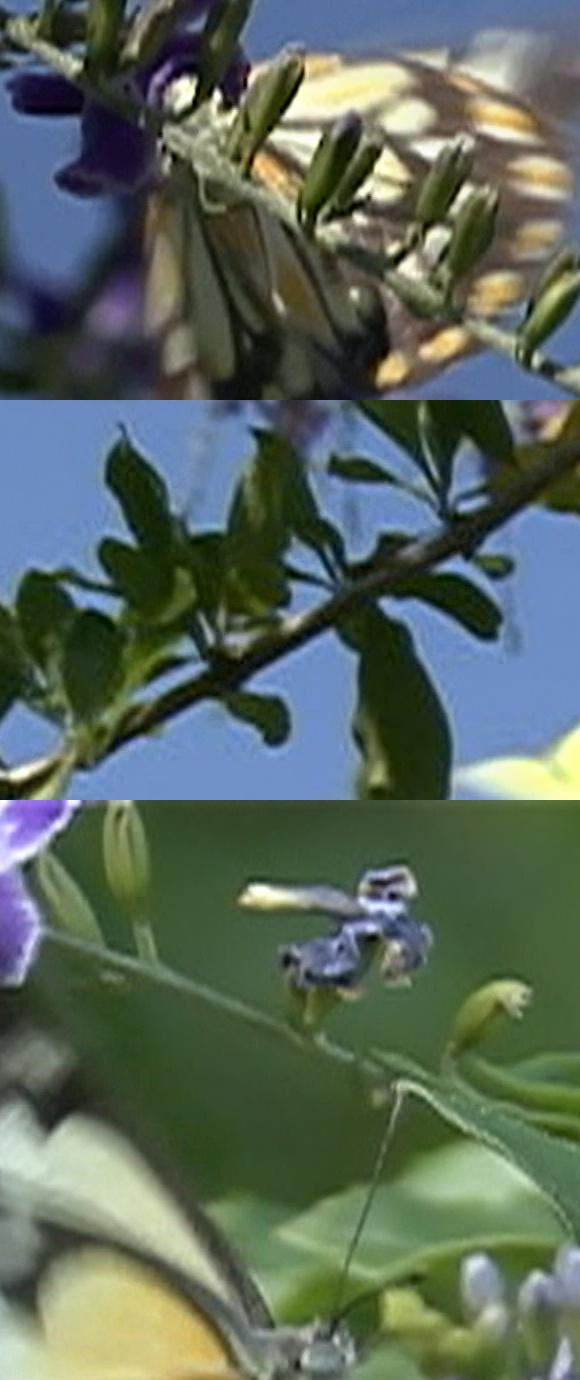 butterfly-fullframe-crops