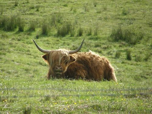 Familiar cow