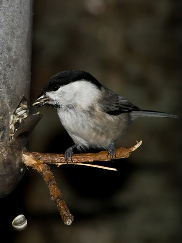 Pictures of Willow tit (Poecile montana) on feeder