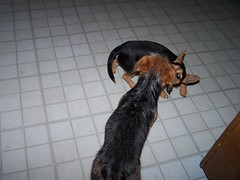 Playing in the kitchen (bonkrood) Tags: puppy bubba jinx chorkie
