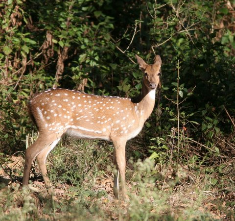 spotted deer b r hills 040108