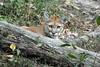 Cougar (Puma concolor), Wildlife Prairie State Park IL DDZ_0063 (NDomer73) Tags: 15october2007 2007 october wildlifeprairiestatepark captive cougar mammal