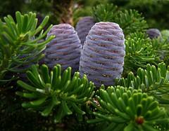 Cones (Vanapagan.) Tags: tree green nature cone olympus lilac naturesfinest supershot sp500uz abigfave anawesomeshot flickrdiamond