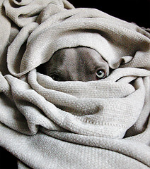 bedouin (saikiishiki) Tags: portrait dog chien cute love silver snuggle grey la cozy interesting eyes warm ghost gray hound hond perro hund weimaraner 500v50f le blanket afghan cuddly kawaii 5bestdogs soe bedouin ♥ perra inu omoshiroi weim greyghost mukha vorstehhund cotcmostinteresting 20f weimie thelittledoglaughed superbmasterpiece betterthangood top20gray waimarana waimarana~ saikiishiki