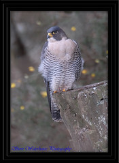 ADULT MALE PEREGRINE FALCON (spw6156) Tags: copyright male woods shot adult steve falcon nationaltrust falcons multi raptors waterhouse mega peregrine plymbridge specanimal cannquarry rickspixtop50 spw6156 stevewaterhouse plymperegrineproject plymbridgeperegrinefalcons copyrightstevewaterhouse