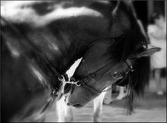 FRENADO (ABUELA PINOCHO ) Tags: españa byn blanco animal caballo negro cabeza castellon galope segorbe bocado inclinada macromania domado golddragon tepasaste ltytr2 ltytr1 ltytr3 wowiekazowie ilovemypic a3b adorablecritters animalsbeautifulanimals frenado subyugado