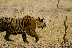 Stalking away (dickysingh) Tags: india outdoor tiger bigcat aditya predator ranthambore singh bengaltiger ranthambhore dicky wildtiger stalkingtiger adityasingh ranthamborebagh theranthambhorebagh projecttigerreserve wwwranthambhorecom