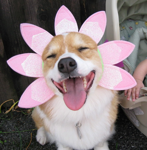happy spring, happy corgi! (4 of 6)