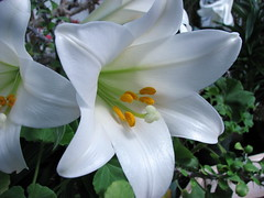 Happy Easter! (ann j p) Tags: white flower easter lily soe easterlily shieldofexcellence diamondclassphotographer flickrdiamond excapture allfromatoz