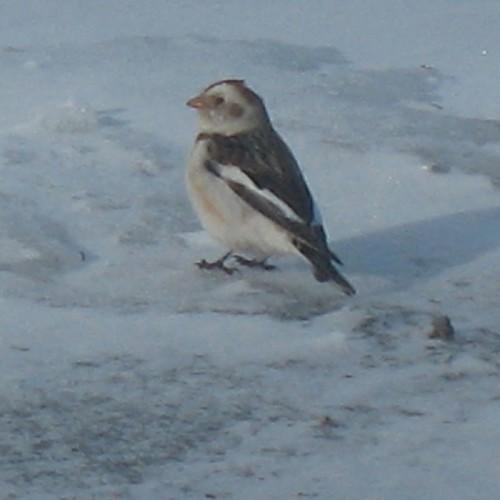 Snow bunting  Artic tundra bird    originally uploaded by mabeane6  Tundra Birds