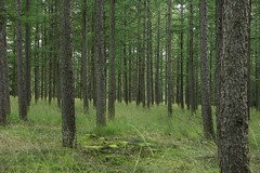 Lutterzand (joeke pieters) Tags: trees green nature vertical forest landscape larch lutterzand lariks natureandnothingelse