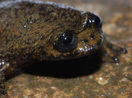 Bornean Flat Headed Frog Facts For Kids
