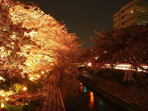 高田川(夜桜)-09
