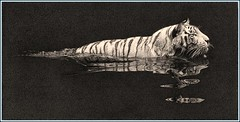 'River Crossing' - White Tiger - Fine Art Pencil Drawings  www.drawntonature.co.uk (kjhayler) Tags: pictures white pencil cat print zoo big artwork artist image pics wildlife tiger picture illustrations drawings images naturalhistory bigcat tigers prints tigger sketches siberiantiger graphite tigress whitetiger animalart whitetigers wildanimals singaporezoo animalprints bengaltiger pencilwork wildlifeimages tigerskin drawingpictures animalpictures wildlifeart animalscats siberiantigers wildlifephotography wildlifephotos bengaltigers animalphotos animaldrawings wildlifeartists indiantiger naturepictures tigerprints wildtigers royalbengaltiger wildlifeportraits wildpictures phototiger animalspictures openedition tigerpicture tigerphotos wildlifeartist wildlifedrawings drawingphotographs kevinhayler animalstigers wildlifetigers imagestigers indiantigers tigerpictures tigerspictures tigersphotos tigerswhite tigerprit tigerimage tigerimages photostigers