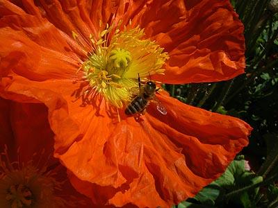 abeille et pavot.jpg