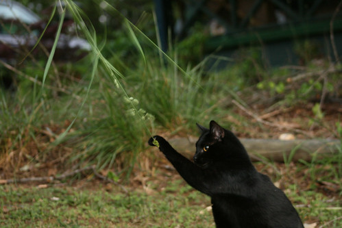 Horus the Black Cat Plays with Grass - IMG_1334
