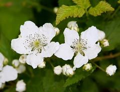 Gerttysburg Wild Flowers (robbdee40) Tags: flickrsbest anawesomeshot aplusphoto auniverseofflowers awesomeblossoms vanagram