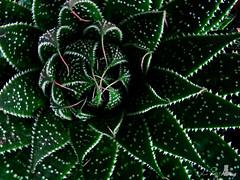 Enter (La-Petite) Tags: cactus macro green nature closeup fineartphotos golddragon diamondclassphotographer flickrdiamond brillianteyejewel proudshopper theperfectphotographer canonpowershota720is